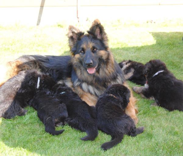 Duitse herder pups